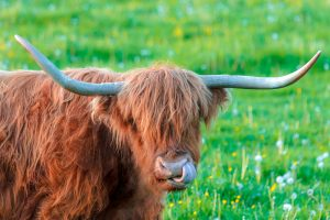 Highland cow licking his nostril